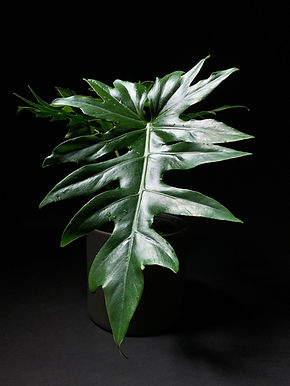 Philodendron Mayoi