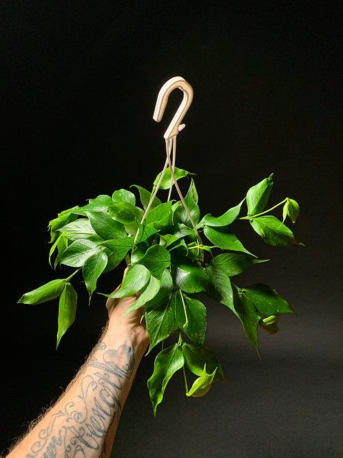 Hoya Polyneura:Fishtail Hoya