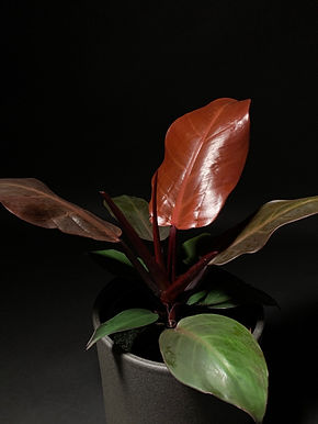 Philodendron Cherry Red