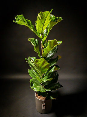 Ficus Lyrata: Fiddle Leaf Fig