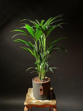 Howea Forsteriana: Kentia Palm