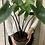 Thumbnail: Black Alocasia Zebrina