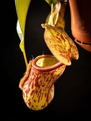 Nepenthes: Pitcher Plant
