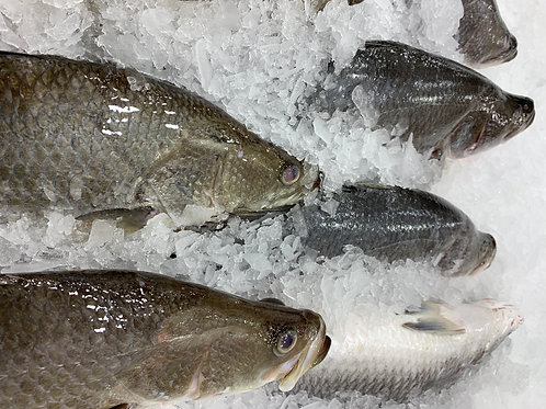 WHOLE BARRAMUNDI 600G, 800G, 3KG OR 4KG FISH