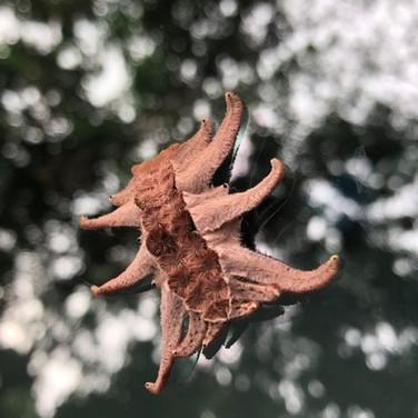 Hag Moth Larvae