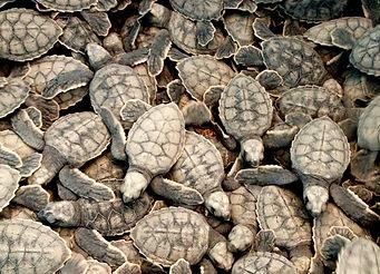 21-Turtle Hatchings.jpg
