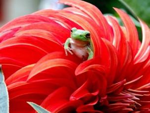 Dahlia Frogs
