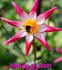 Dahlias of Today 2014