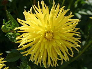 2016 Dahlia of the Year
