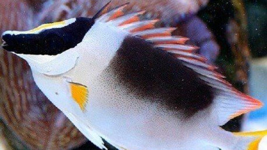 Magnificent Fox Face Rabbitfish