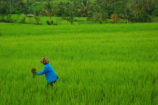 Rice = Life