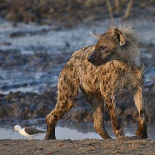 My spirit animal, the spotted hyena._._.