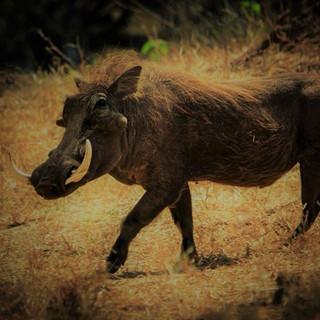 An impressive Warthog boar!
