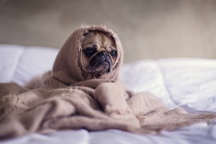 Cute french bulldog under a blanket relaxing in bed.