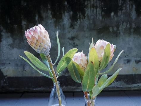 A bucket of proteas
