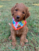 red goldendoodle nc