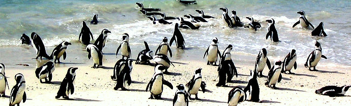 Penguins_at_Boulder's_Beach,_South_Afric