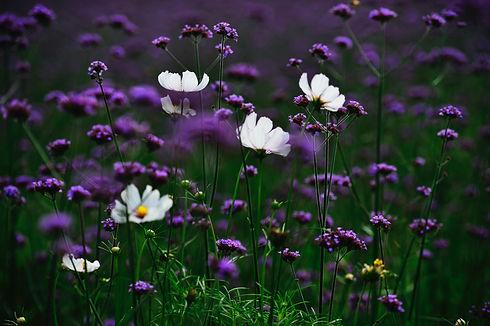Purple flowers in field.jpg