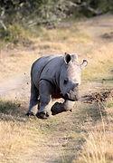 powerful baby rhino