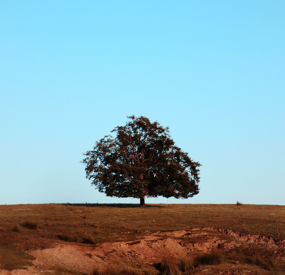 Lone tree standing in a field with clear blue sky