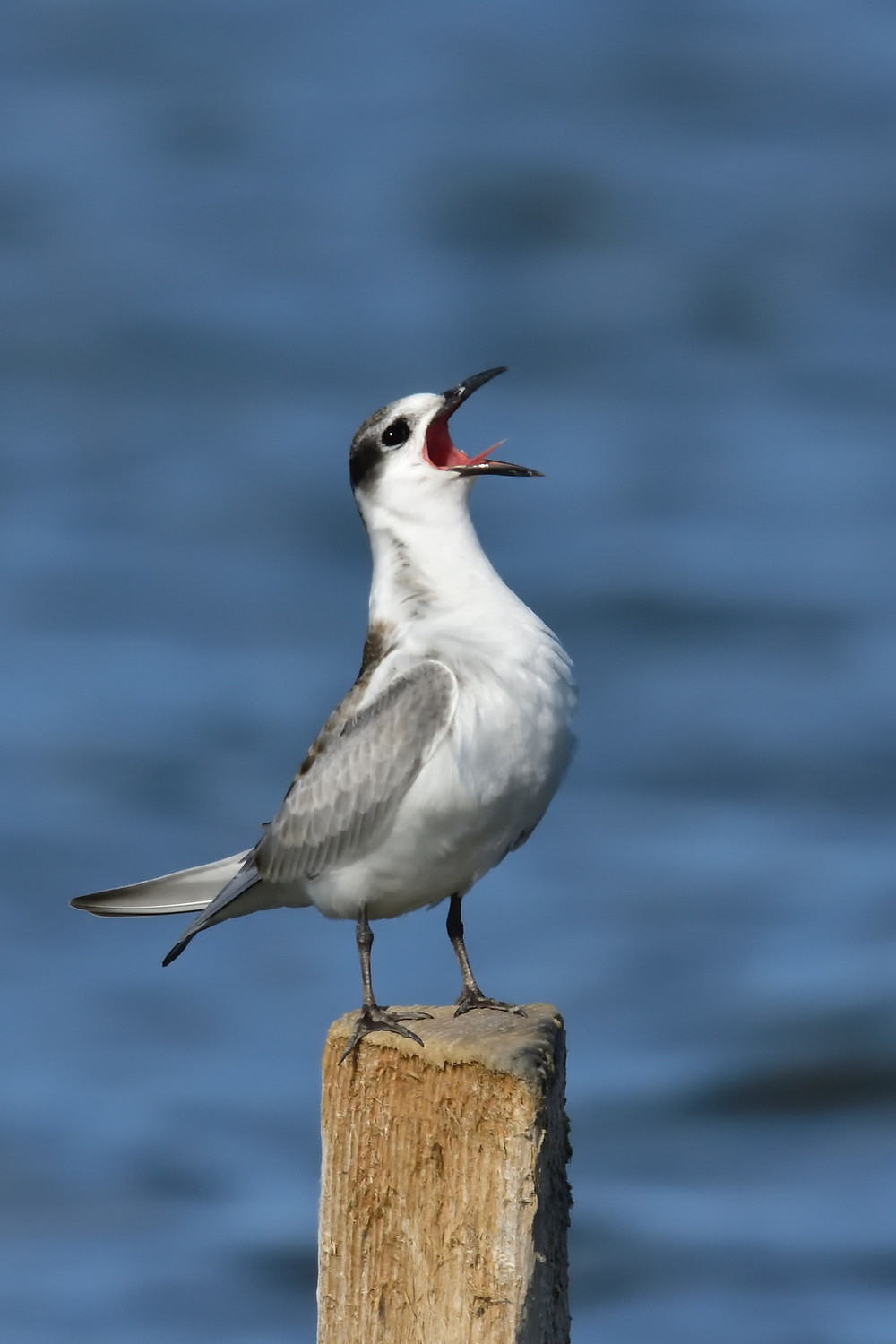 A seagull standing on a pole and cawing - mouth wide open