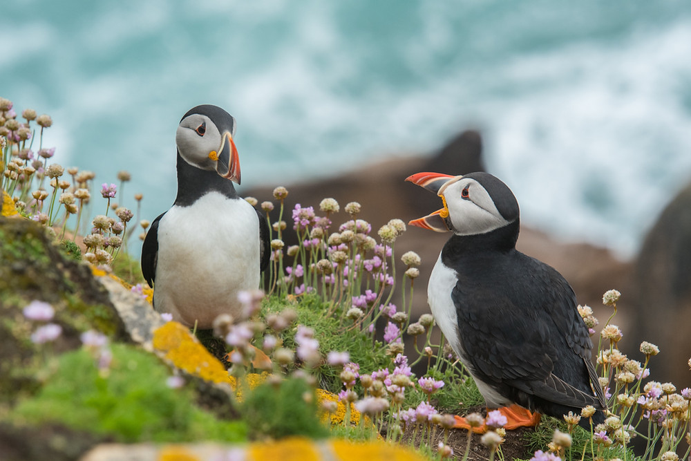 Two puffins, one speaking and one listening