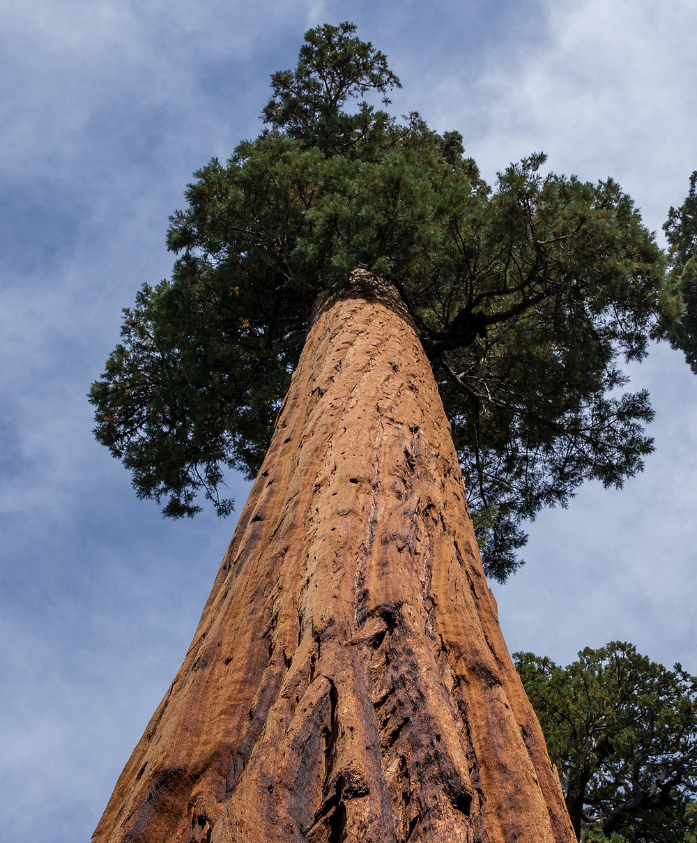 A giant sequoia tree rising into the air