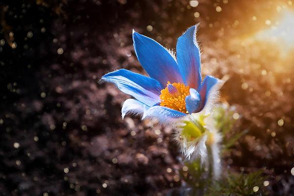 anemone-4173229_960_720.jpg
