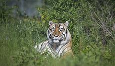 alex_tiger.png
