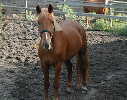 Bild Pferd Buffy