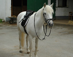 Bild Pferd Suzie