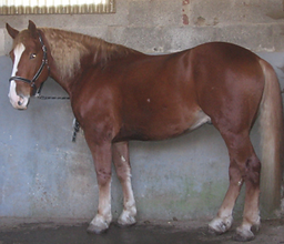 Bild Pferd Leonidas