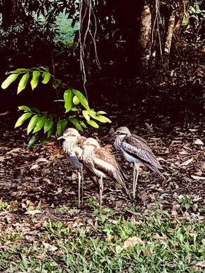 Curlews.jpg