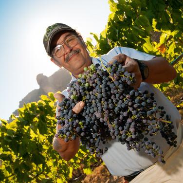 Harvester of grapes in Central Oregon