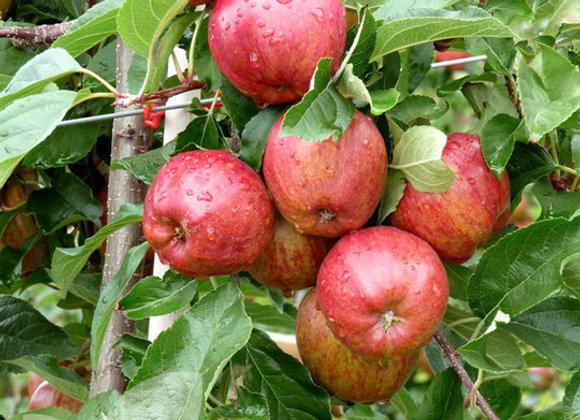 Apple(Royal Gala)