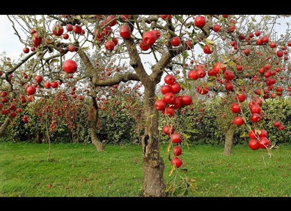 Apple(Shimla)