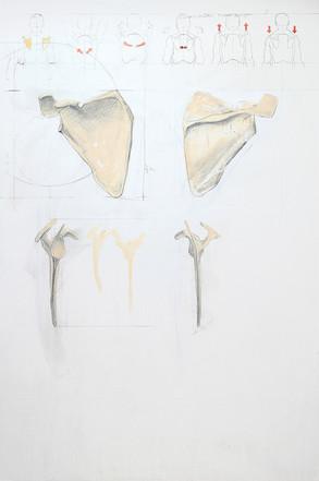 Skeleton scapula