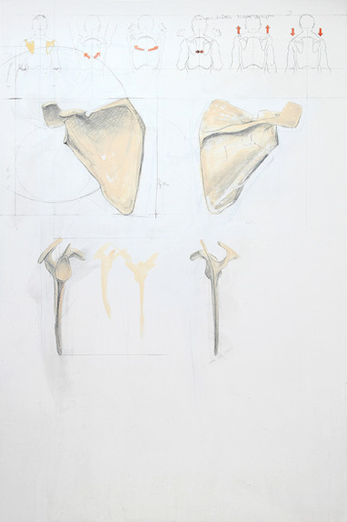 Skelett Skapula