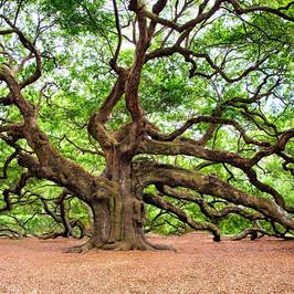 oak-tree-2018822_600x600.jpg