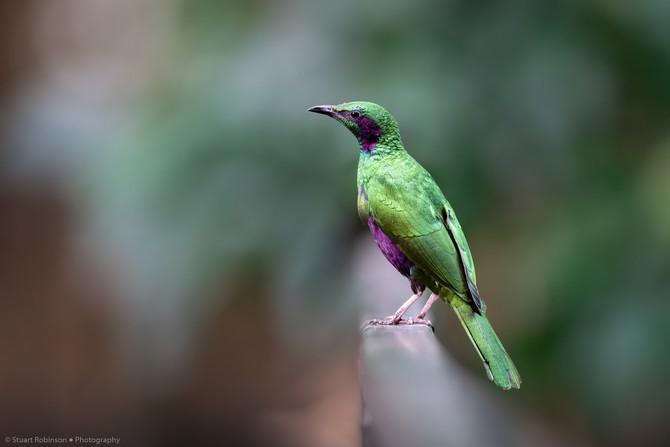 Emerald Starling (Lamprotornis iris)