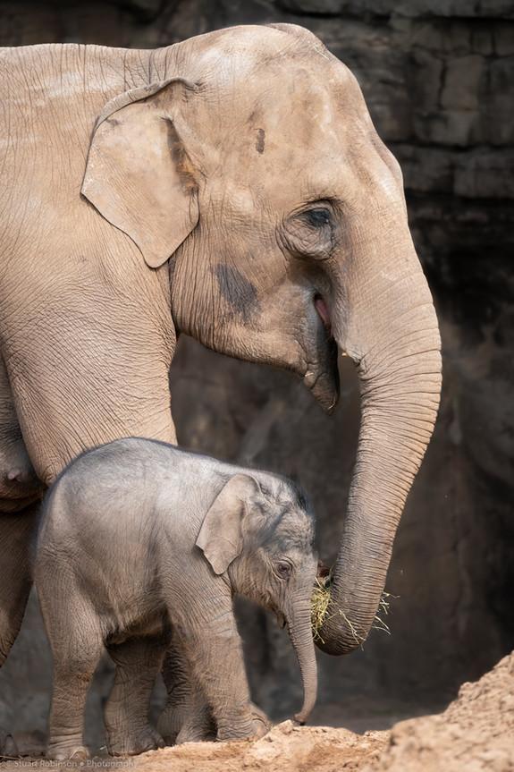 Asian Elephant and Calf (Elephas maximus)