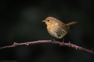 Fledgling European robin (Erithacus rubecula)