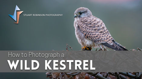 How to Photograph a Wild Kestrel.jpg