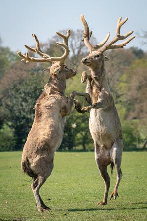 Père David's Deer (Elaphurus davidianus)
