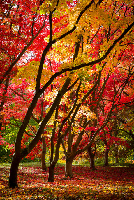 Acer Glade, Bodnant Garden