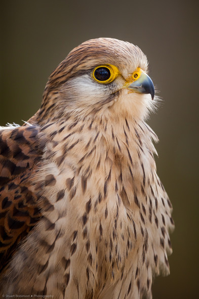 Common female kestral (Falco tinnunculus)
