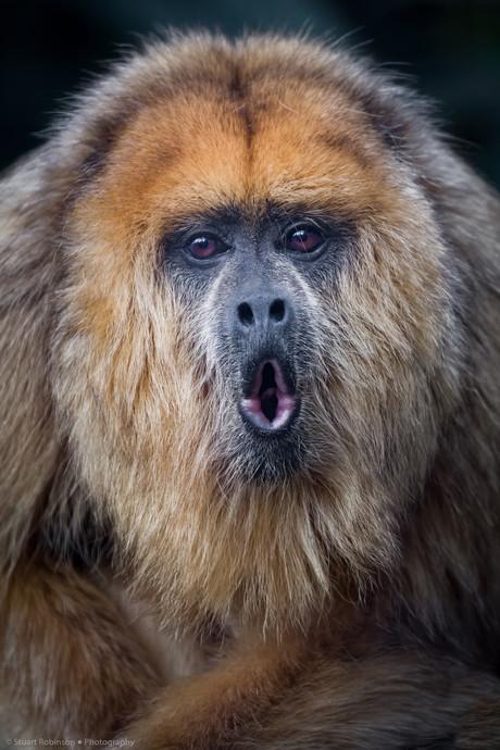Black Howler Monkey Female (Alouatta caraya)