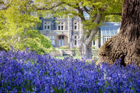 Bluebells at Bodnant Garden