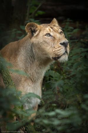 Asiatic Lion Female (Panthera leo leo)