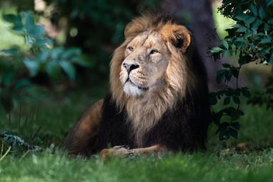 Asiatic Lion Male (Panthera leo leo)